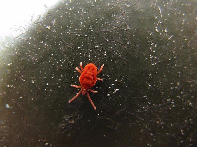 ácaro Rojo