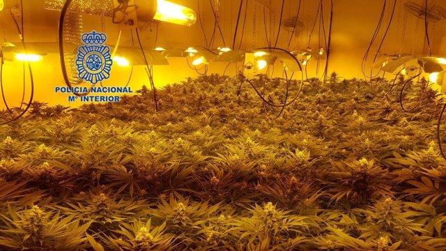 Plantación de marihuana en Elche