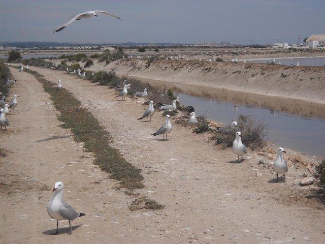 Colonia de gaviota de audouin en las Salinas de San Pedro del Pinatar