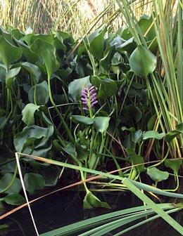 Plantas de camalote que invade el Guadiana