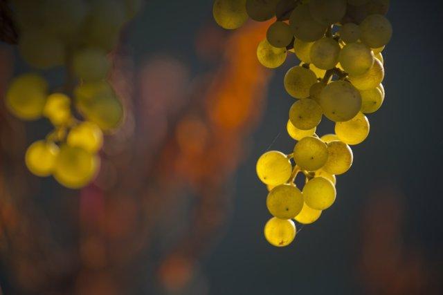 Uvas blancas.