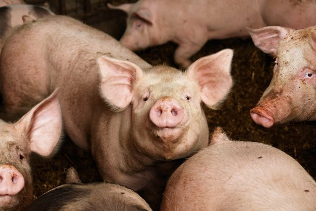 Cerdo, granja
