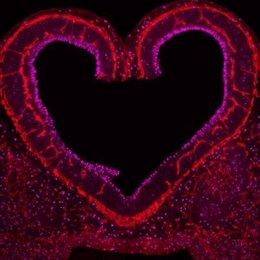 Vasos sanguíneos en rojo en comunicación con la proliferación de neuronas