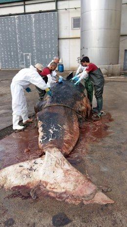 Imagen de la necropsia del cachalote hallado muerto en aguas de Cartagena