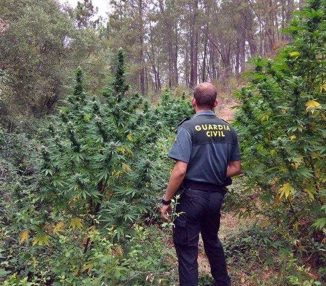 Imagen de una plantación de marihuana