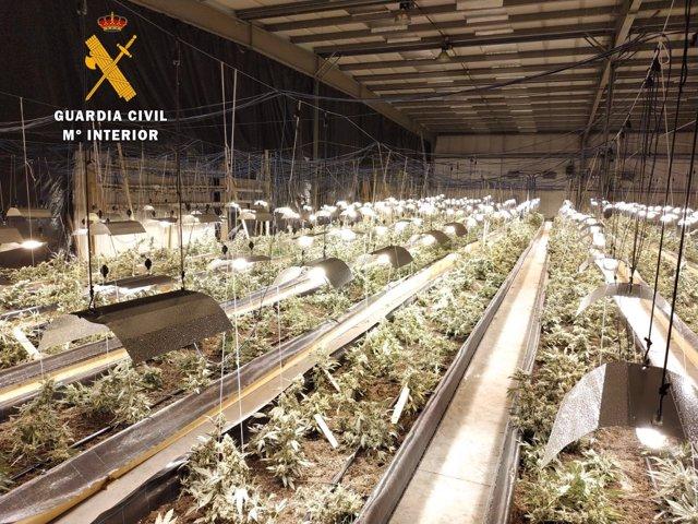 Plantación de marihuena desmantelada en Corvera de Toranzo, la mayor hasta ahora