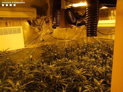 Cae un clan familiar holandés que regentaba un 'grow shop' y traficaba con marihuana