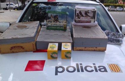 Los Mossos recuperan más de 30 aves cantoras que se vendían en Barberà del Vallès