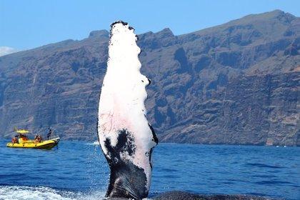 Prestan asistencia veterinaria a la ballena yubarta avistada en el sur de Tenerife