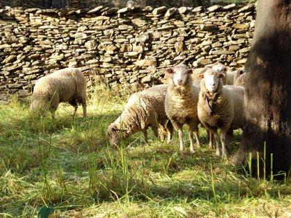 """UPA-UCE reclama que la futura PAC """"priorice"""" al sector del ovino ante la """"complicada situación"""" que atraviesa"""