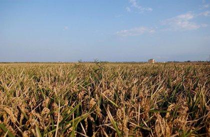 La Unió denuncia que la falta de agua afecta en el final de la campaña al correcto desarrollo del arroz