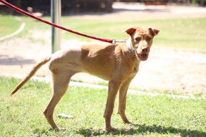 La protectora El Refugio busca familia a 'Cenicienta', una perra podenca de 8 meses con la pata amputada