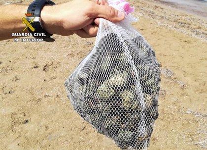 Guardia Civil sorprende a 5 personas con 40 kilos de caracolas de mar que sacaron de la playa hasta un coche