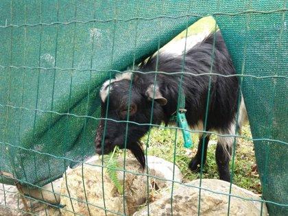 """COAG-A lamenta la """"mala situación"""" del sector caprino y pide a Agricultura que lidere su defensa ante la UE"""