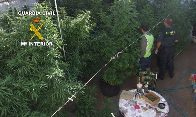 Una de las plantaciones de marihuana localizadas por la Guardia Civil.