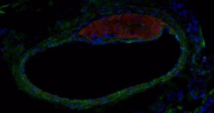 Identifican un péptido que ayuda a que se queme más grasa