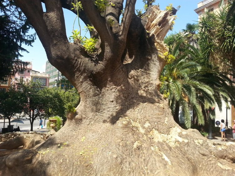 El árbol bellasombra de la plaza de la Reina sufre un proceso infeccioso que hace peligrar su conservación