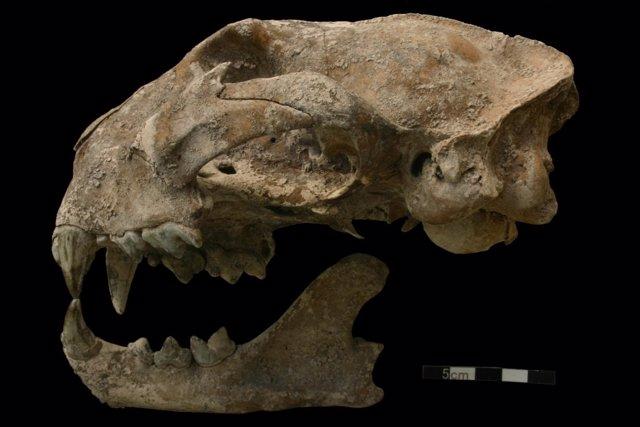 Cráneo de puma de un enterramiento maya