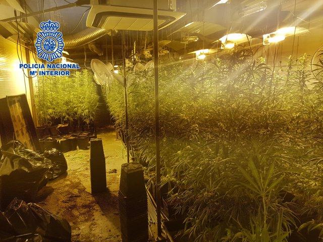 Plantació de marihuana desmantellada per la Policia Nacional a Santa Perpètua