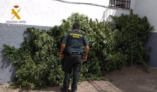 Marihuana intervenida en una finca de Espiel