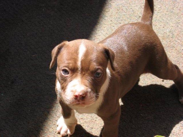 Cachorro de raza pitbull