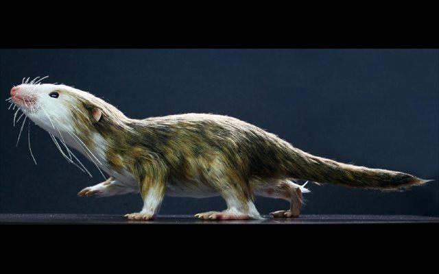 Hacerse pequeños fue esencial para la evolución de los mamíferos