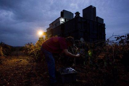 La Ruta del Vino Ribera del Guadiana ofrece este sábado una vendimia nocturna en Villafranca de los Barros