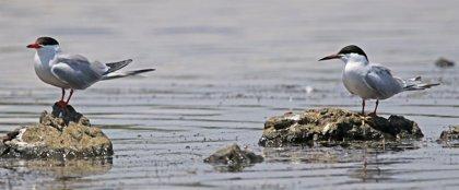 El número de aves acuáticas en la Reserva Natural de s'Albufereta es el más alto de la historia, con 2.670 ejemplares