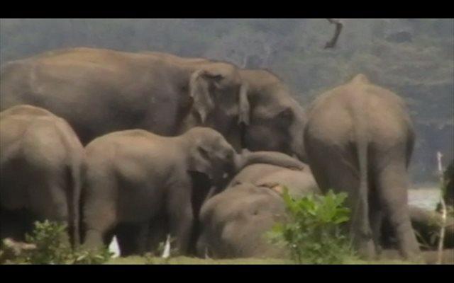 El duelo de los elefantes: una cuestión de honor y respeto por la muerte de un miembro de la manada