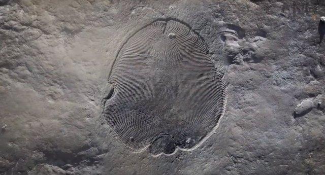 Grasa de 558 millones de años confirma a Dickinsonia como primer animal