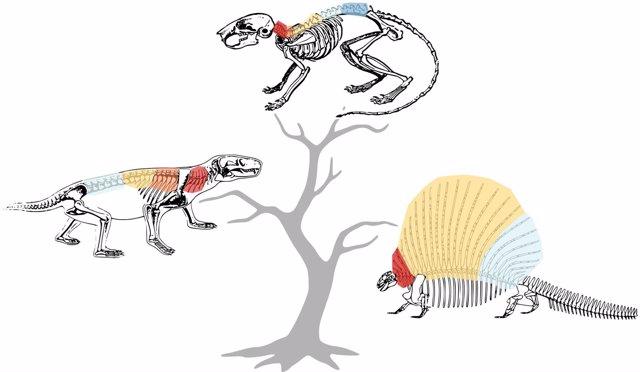 Tres estadios de la evolución de la espina dorsal de los mamíferos