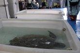 Foto: El Oceanogràfic de Valencia seguirá vía satélite a dos tortugas verdes rescatadas en Ceuta