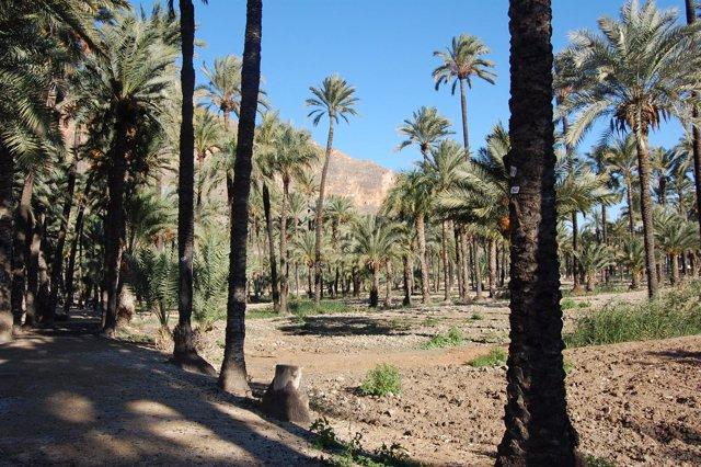Cultivo ecológico de la palmera datilera