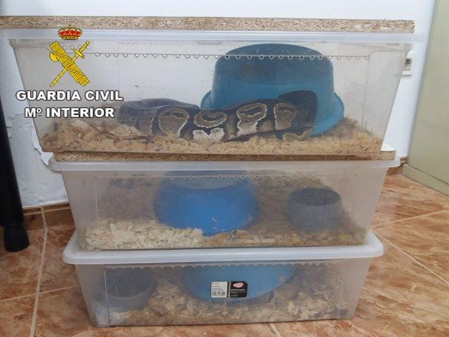 Serpientes pitones recuperadas en Huéscar (Granada)