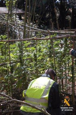 Imagen de la plantación de marihuana en Boceguillas