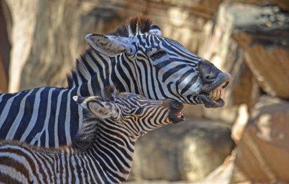 Nace la tercera y última cría de cebra de la manada de Bioparc, el hermano de Milagritos