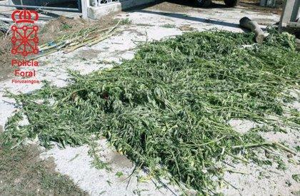 Policía Foral detiene a dos personas por cultivar marihuana para su distribución