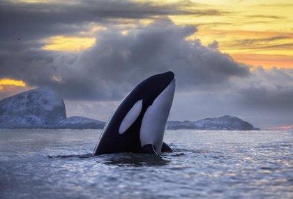 La contaminación por PCB amenaza con eliminar a las ballenas asesinas