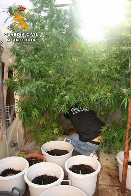 Detenida una pareja por cultivar 49 plantas de marihuana cerca de la capital abulense