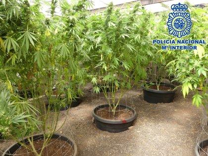 Detenidos cinco hombres que tenían una plantación de más 2.100 ejemplares de marihuana en Lanzarote