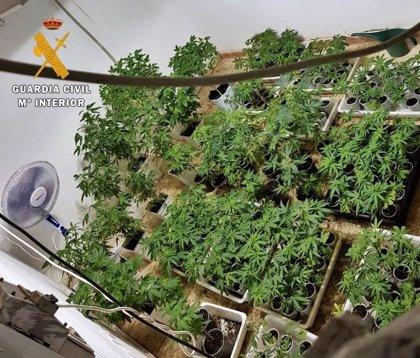 Intervenidas 400 plantas de marihuana y medio kilo de cogollos en una parcela de una urbanización de Badajoz