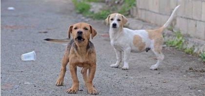 Nueva estrategia para evitar el contagio de leishmaniasis: tratar a los perros con insecticidas