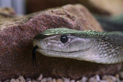 Desarrollan un antídoto basado en anticuerpos humanos contra la mordedura de serpiente