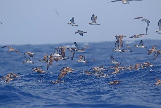 Pardela cenicienta, en peligro en Canarias