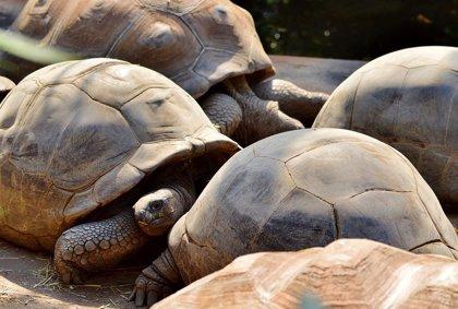 La Fiscalía de Galápagos investiga el robo de 123 crías de tortuga gigante de un criadero protegido