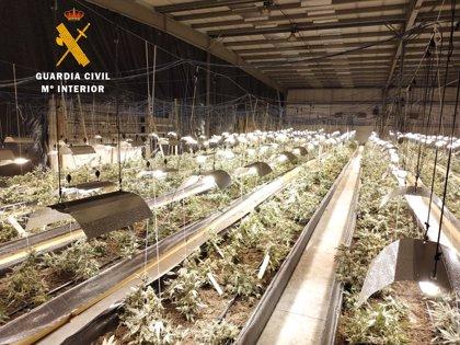 Desarticulado el grupo que gestionaba la mayor plantación de marihuana de Cantabria