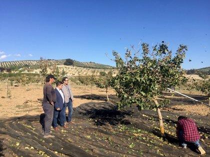 La Diputación de Jaén fomenta la plantación de pistacho en Jaén con ayudas que alcanzan los 200.000 euros