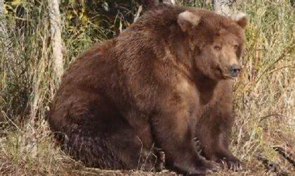Operación invierno: Así es la increíble transformación de un oso pardo antes de la hibernación