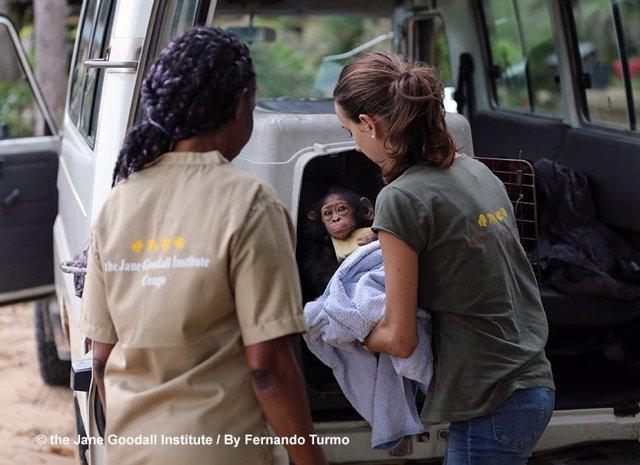 Una cría decomisada llega al Instituto Jane Goodall en el Congo