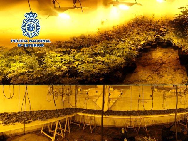 Operación contra el cultivo de marihuana